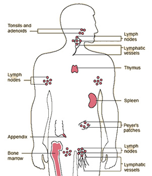 Diagram showing the elements of the body's immune system