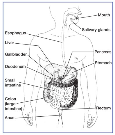What does the colon do in the digestive system healthy living answers digestive system diagram ccuart Gallery