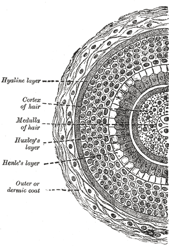 Hair Follicle Cross Section
