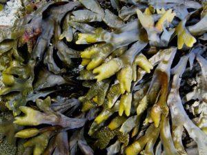 Sea Kelp Vitamins