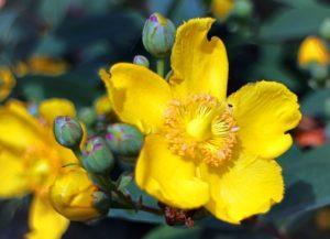 St John's Wort - Hypericum Perforatum Plant