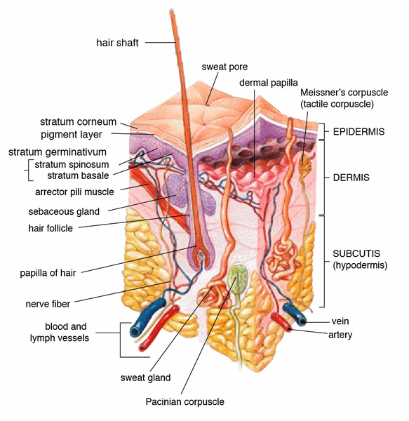 Diagram Showing Three Layers of Human Skin - Epidermis - Dermis - Hypodermis