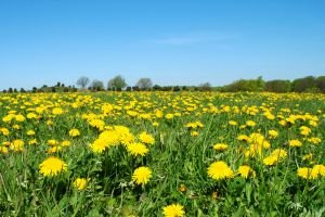 Dandelions are a natural remedy for Water Retention and Edema